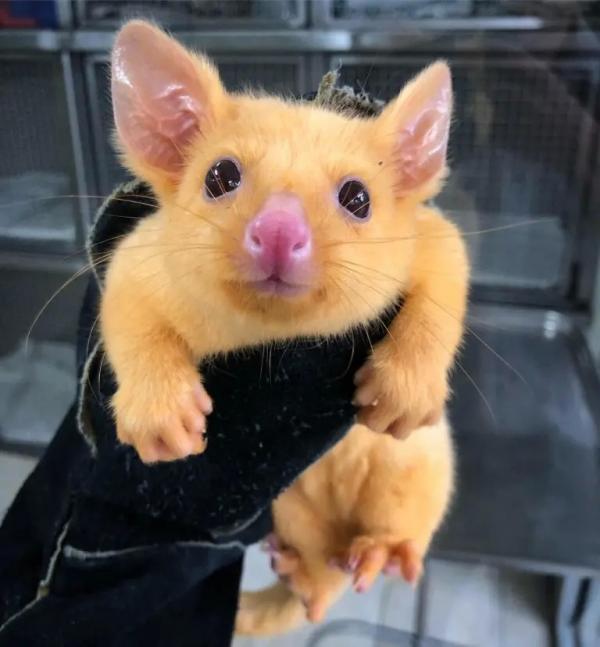 ChồnOpossum đột biến có bộ lông vàng khiến ai cũng ngỡ Pikachu biến hình