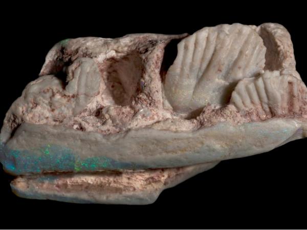 Đá quý ở mỏ đá opal Úc là hóa thạch của một loài khủng long chưa từng biết đến