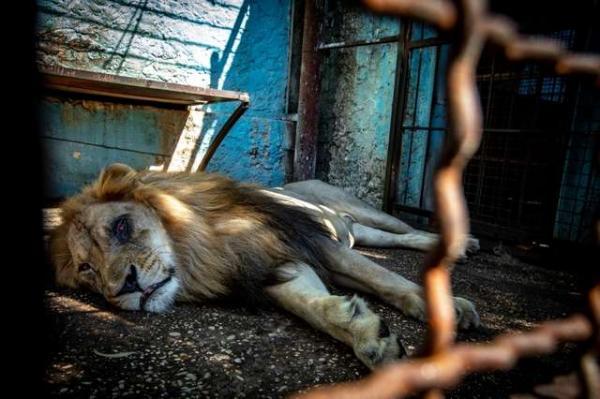 Chú sư tử từ bỏ sự sống khi bị nhốt trong chiếc chuồng chật chội và tối tăm