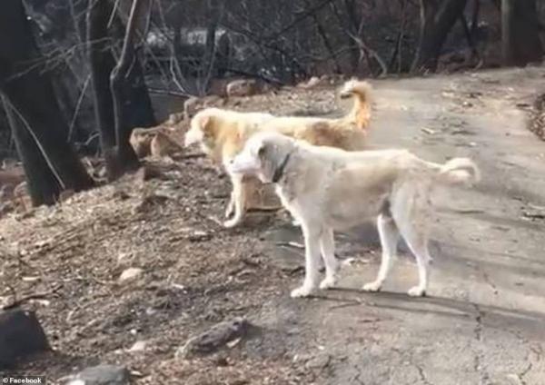 Câu chuyện cảm động về chú cún chờ chủ suốt 1 tháng ròng sau trận cháy rừng
