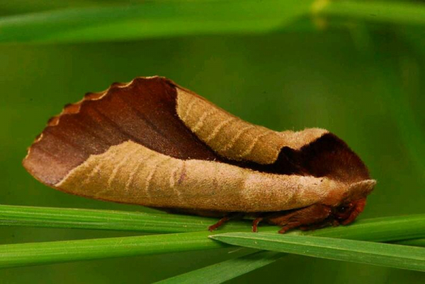 Tin chắc đây là một chiếc lá khô? Tỉnh táo lại đi, bạn đã bị một con bướm đêm lừa gạt rồi!