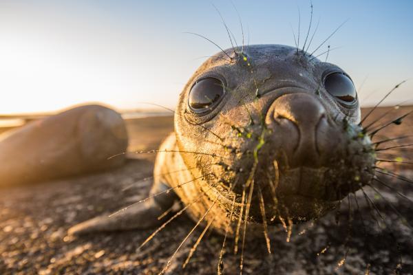13 sự thật lạ lùng và 'í ẹ' về loài hải mã biển khổng lồ