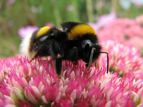 Loài người sẽ chỉ tồn tại thêm 4 năm sau khi ong mật tuyệt chủng và biến mất khỏi thế giới?