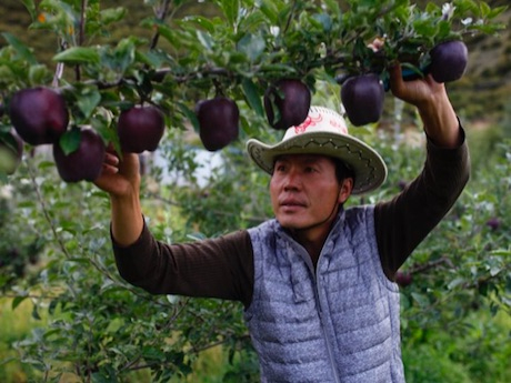 Táo đen quý hiếm giá gần 500.000đ/quả nhưng nông dân chẳng mấy mặn mà