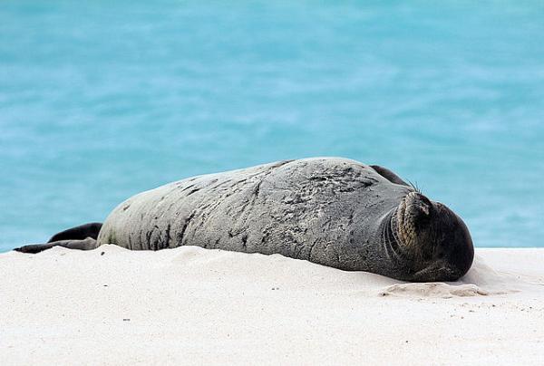 Trường hợp hy hữu: Những chú hải cẩu con cứ bị lươn mắc vào... mũi và chỉ lỗ mũi phải