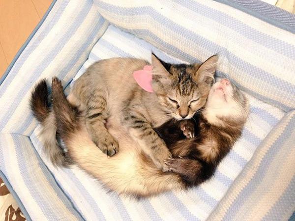 Cô mèo nghĩ mình là... chồn sương vì được chúng nhận nuôi từ bé
