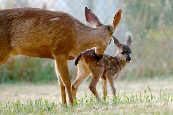 Kẻ săn trộm nai nhận hình phạt nhớ đời: Phải xem hoạt hình 'Chú Nai Bambi' trong tù