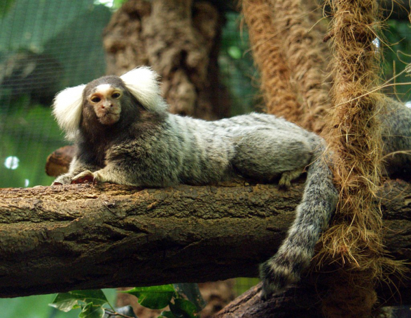 Học cách khỉ đuôi sóc dạy con không được chen ngang khi đồng loại trò chuyện