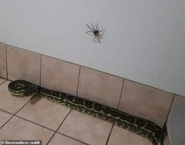 Nên làm gì khi thấy cả trăn và nhện độc trong nhà bạn?