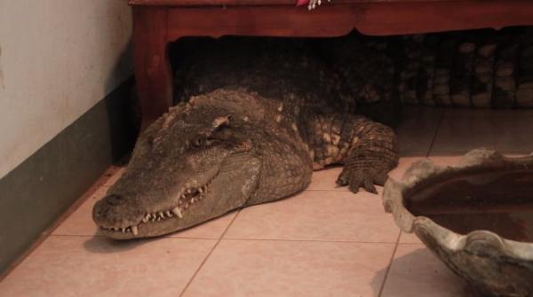 Lạ lùng chuyện người đàn ông Thái Lan nuôi cá sấu làm thú cưng trong nhà suốt 20 năm