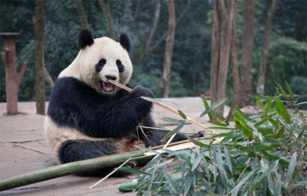 Malaysia buộc phải trả lại gấu trúc cho Trung Quốc vì tiền thuê và chi phí bảo hiểm quá đắt