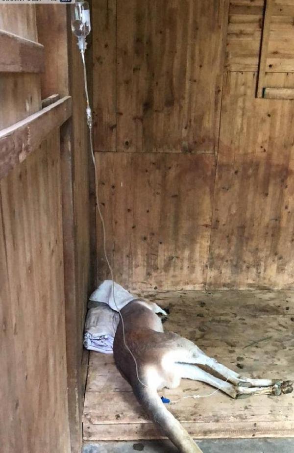 Chú chuột túi bị du khách Trung Quốc ném gạch đến chết vì không chịu chạy nhảy hay làm trò vui