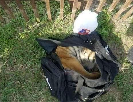 Hổ con bị xích ngoài nhà hàng thảm thương như chó