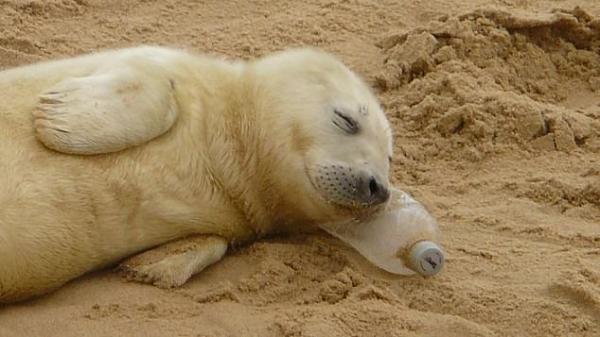 Hải cẩu con gối đầu trên chai nhựa ngủ tít thò lò - dễ thương đến Thượng Đế cũng phải cười!