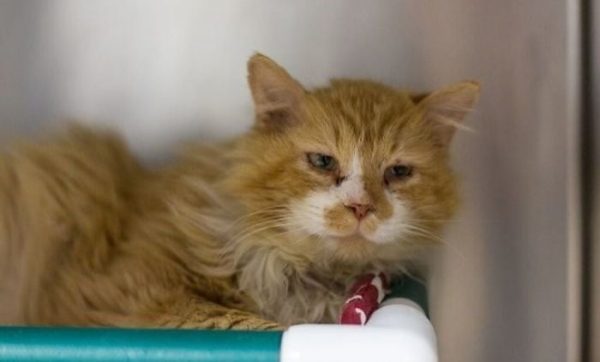 Chú mèo đi bộ 19 km để tìm về với chủ cũ nhưng kết quả nhận được chỉ là 'án tử'