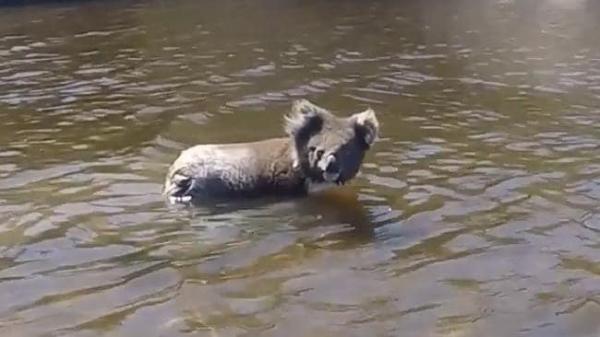 Chú gấu túi may mắn thoát chết nhờ sự giúp đỡ của 'hooman'