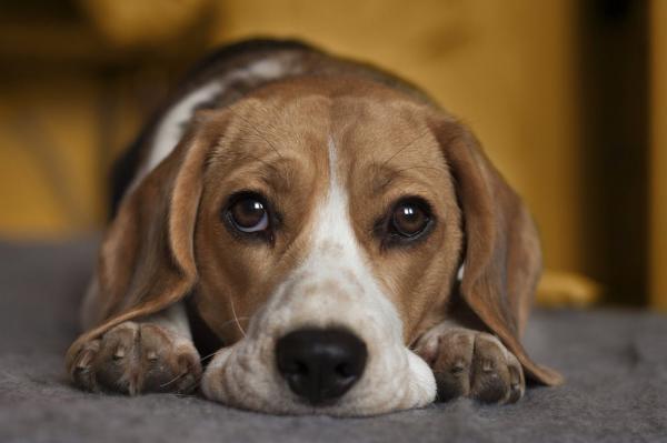 Sự thật đau lòng đằng sau câu chuyện chú chó suốt ngày canh chừng chủ nhân ngủ
