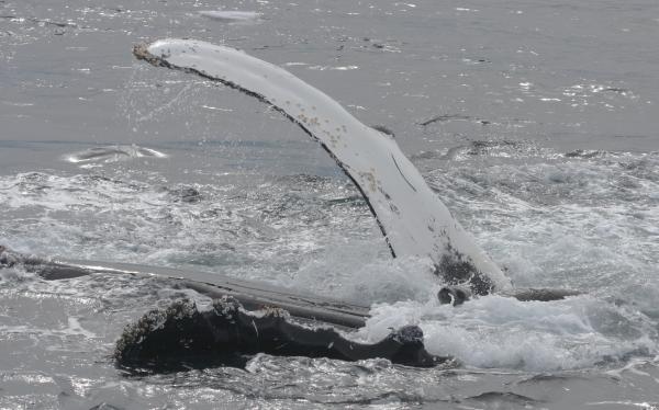 Tại sao cá voi lưng gù thường bảo vệ những loài động vật khác thoát khỏi cá voi sát thủ?