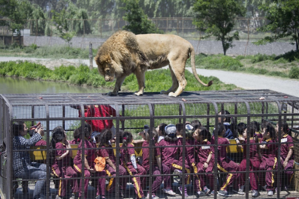 Sở thú không dành cho du khách yếu tim: Người bị nhốt trong lồng, sư tử thì tự do đi lại