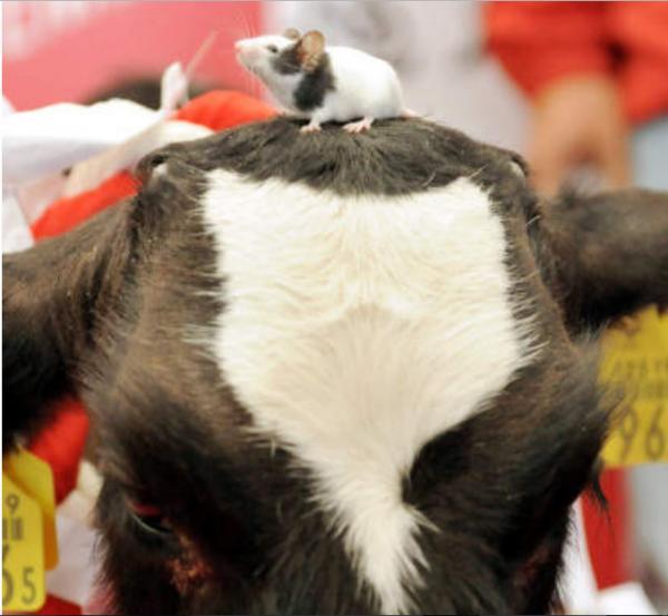 Vui cả năm khi xem biểu cảm hài hước của động vật trong lễ bàn giao 12 con giáp ở Nhật Bản