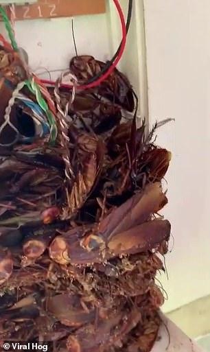 'Nổi da gà' với cảnh tượng hàng chục con gián trốn bên trong điện thoại bàn