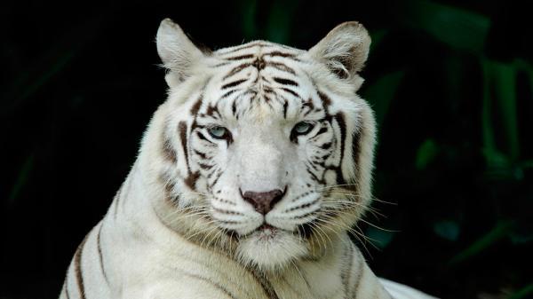 Đau lòng hình ảnh chú hổ trắng quý hiếm phải ăn đất vì bị bỏ đói