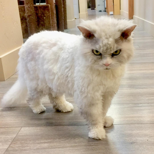 'Boss' mèo được mời đóng quảng cáo vì gương mặt 'khó ở', đôi mắt sắc lẹm như hờn cả thế giới