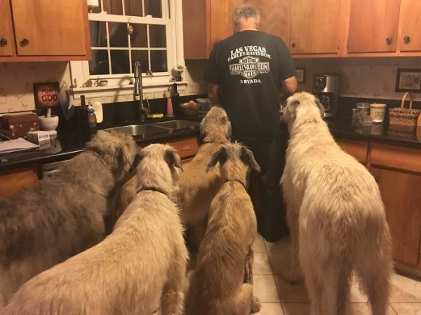 Cả bầu trời đáng yêu của những bé chó săn sói Ireland khiến dân tình mê mệt