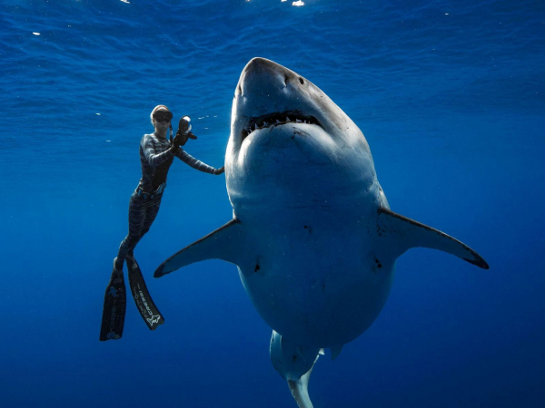 'Đứng tim' trước cảnh thợ lặn vuốt ve con cá mập trắng lớn nhất hành tinh ngoài khơi Hawaii