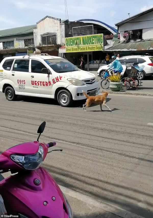 Đau lòng chú chó con bị xe tông, chó mẹ chạy ra giữa dòng xe cộ cầu cứu mọi người