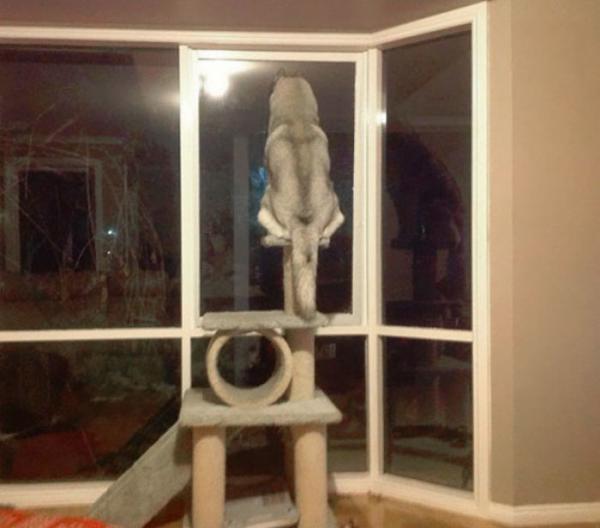 Loạt ảnh chứng minh Husky là loài chó 'ngáo' nhất quả đất