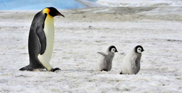 Dindim - chú chim cánh cụt siêu lầy mỗi năm đều tranh thủ về thăm ân nhân hai lần