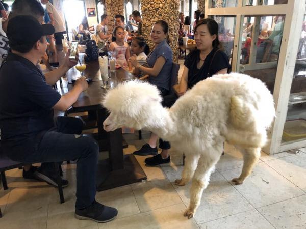 Những quán cà phê động vật dễ thương trên toàn thế giới khiến con tim khách hàng loạn nhịp