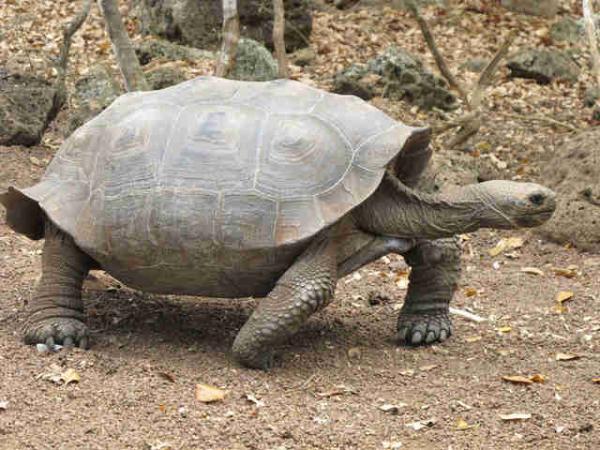 Tìm thấy rùa con được sinh sản tự nhiên trên quần đảo Galápagos sau hơn 100 năm biến mất