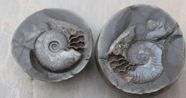 Hòn đá nhẵn thín không ngờ là hoá thạch quý hiếm 185 triệu năm tuổi