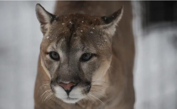 'Võ Tòng' ngoài đời thật: dùng tay không giết chết sư tử núi
