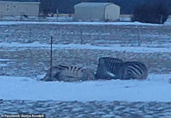 Thiên nhiên đáng sợ: Ngựa vằn chết rét vì bị kẹt hàng rào