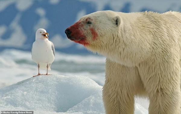 Nhiếp ảnh gia sung sướng vì vô tình 'chộp' được pô ảnh gấu Bắc Cực lè lưỡi chọc quê chim hải âu