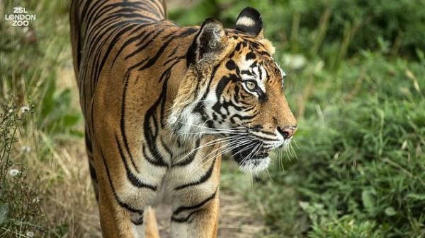 Giao phối không thành, hổ cái bị bạn tình do sở thú 'mai mối' giết chết