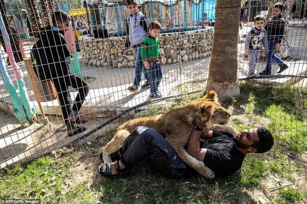 Sư tử tại sở thú bị cắt bỏ móng vuốt để du khách có thể 'chơi đùa' với con vật