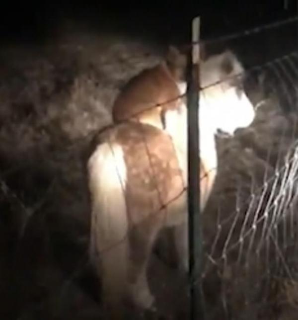 Chú chó Corgi láu cá nửa đêm nhảy lên lưng ngựa cưỡi chơi