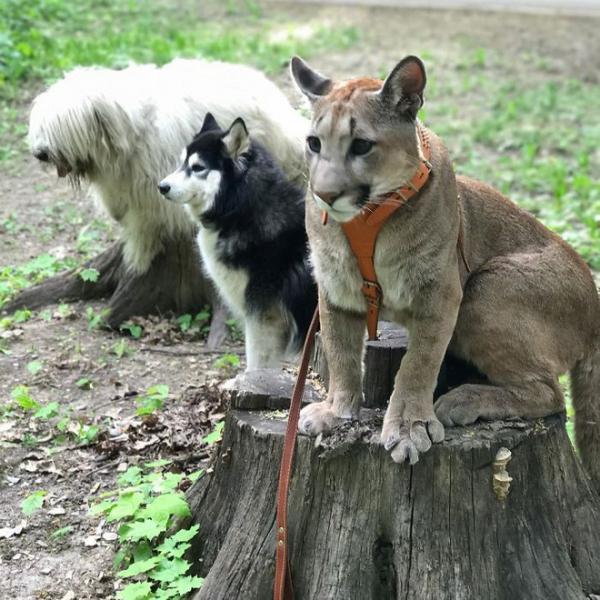 Là báo sư tử mà sao lại dễ thương 'đốn tim' hơn cả mèo nhà thế này?