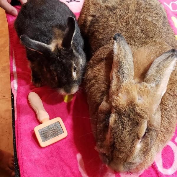 Chuyện tình 'đũa lệch' lãng mạn giữa nàng thỏ khổng lồ và chàng thỏ tí hon