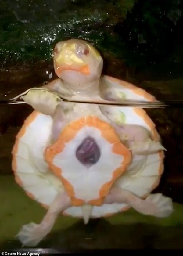 Thắp sáng một ngày của bạn với câu chuyện về chú rùa con bạch tạng có quả tim nằm ngoài cơ thể