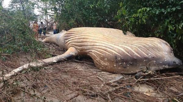 Xác cá voi lưng gù lại xuất hiện bí ẩn trong rừng nhiệt đới Amazon tạo ra câu hỏi lớn cho khoa học