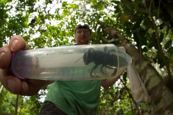 Loài ong lớn nhất thế giới tưởng đã tuyệt chủng bất ngờ xuất hiện trở lại ở Indonesia