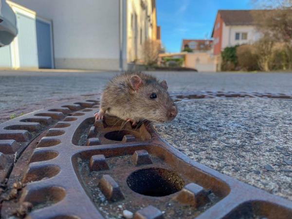 Huy động cả đội lính cứu hỏa để giải cứu chú chuột mắc kẹt trong ống cống vì... quá mập