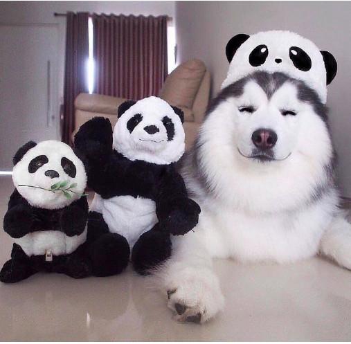 Chết cười với những thú cưng được các 'sen' nuôi thành giống 'mình heo đầu thú'