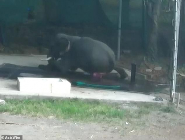 Bắt voi ngồi xuống tắm, người quản tượng vô tình bị chú voi mình chăm sóc đè chết