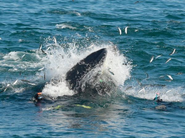 Đang lặn biển vui vẻ thì bị cá voi... nuốt chửng, phải làm gì bây giờ?